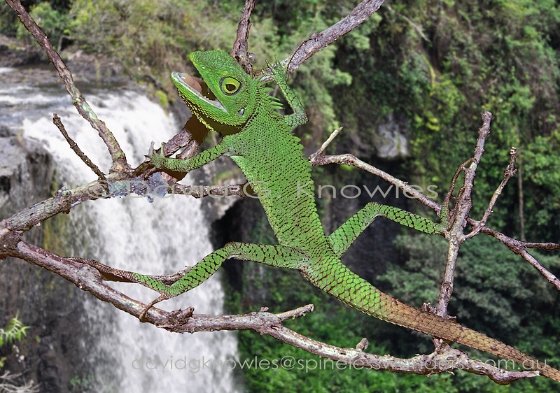 Male Sulawesi Bloodsucker Dragon showing return to normal green coloration after brown of alarm