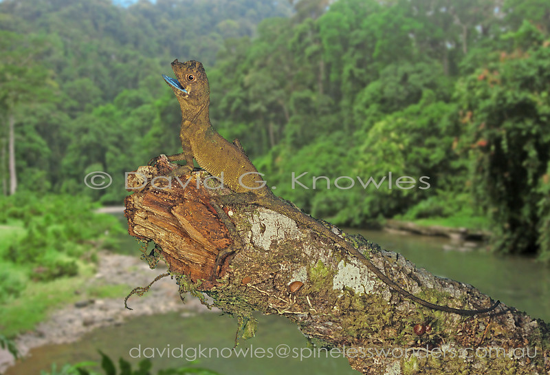 Female Ornate Shrub Lizard (brown phase) gapes revealing blue moth colour