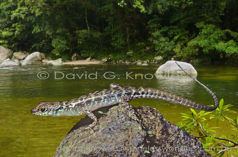 Unidentified Sulawesi Waterside Skink prepares to enter the water to escape perceived predator