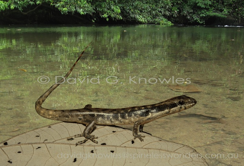 Beccari's Waterside Skink is never found far from water