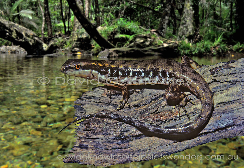 Beccari's Waterside Skink readily shelters in water  when alarmed