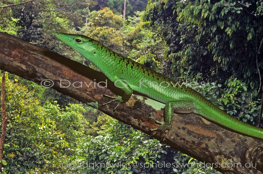 Emerald Tree Skink showing sharp snout for pin point feeding on small prey and even fruit. Lamprolepis smaragdina extends from Taiwan, Malaysia, Borneo, the Philippines and Indonesia east to New Guinea, the Solomon and Santa Cruz islands