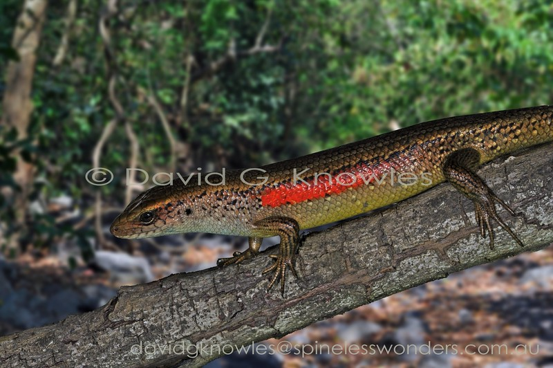 This Common Sun Skink from the highlands of Lombok Island appears especially redder than examples from elsewhere in Indonesia