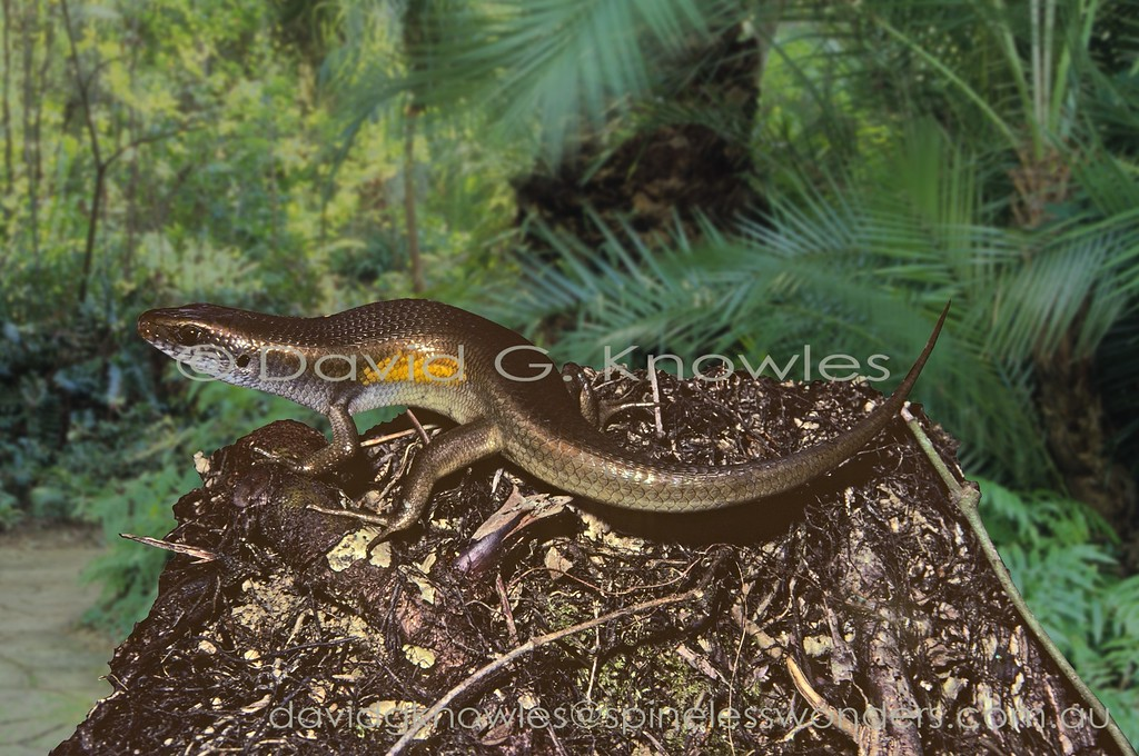 Adult Common Sun Skinks usually have some indication of  dorsal striping - this is an exception