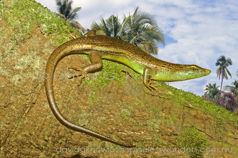 Olive Tree Skink eyes nearby House Crow