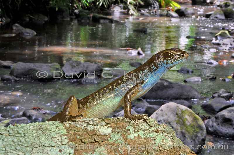Blue-headed Forest Skink warily returns to basking site