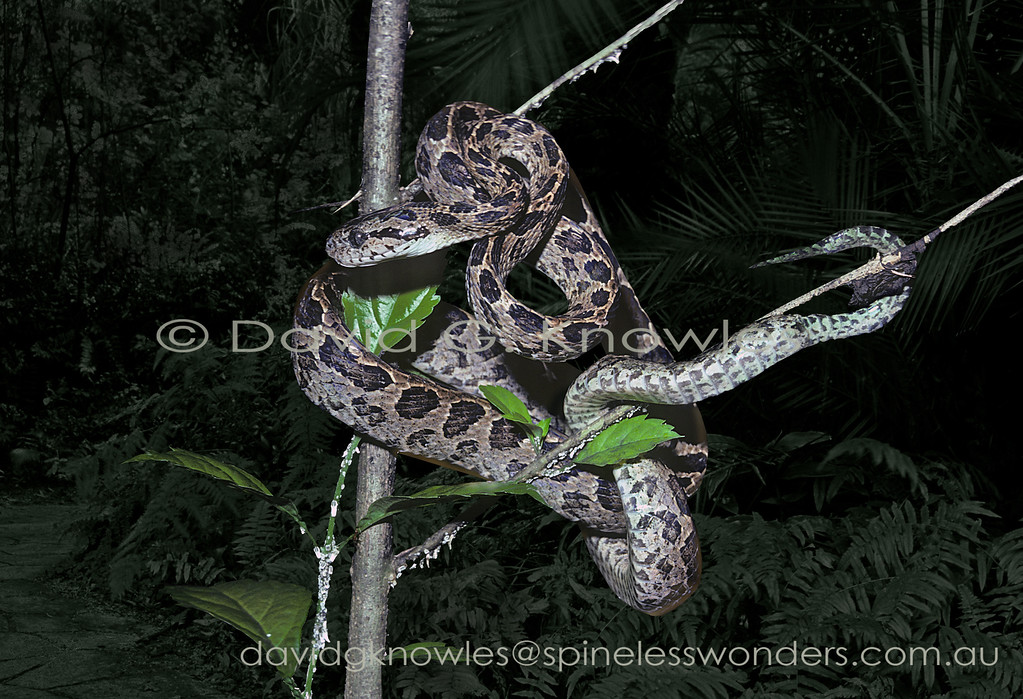 Many-spotted Cat Snake showing how their night adapted eyes may see in low light conditions that would render a human blind