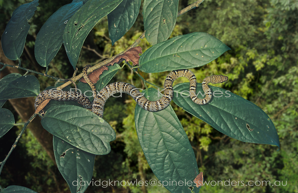 Subadult Twin-barred Tree Snake will happily launch itself and glide to escape a threat