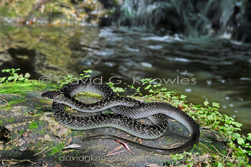 The Indonesian Common Wolf Snake is commonly encountered around village gardens. This individual is preparing to moult as the eye scale has become milky