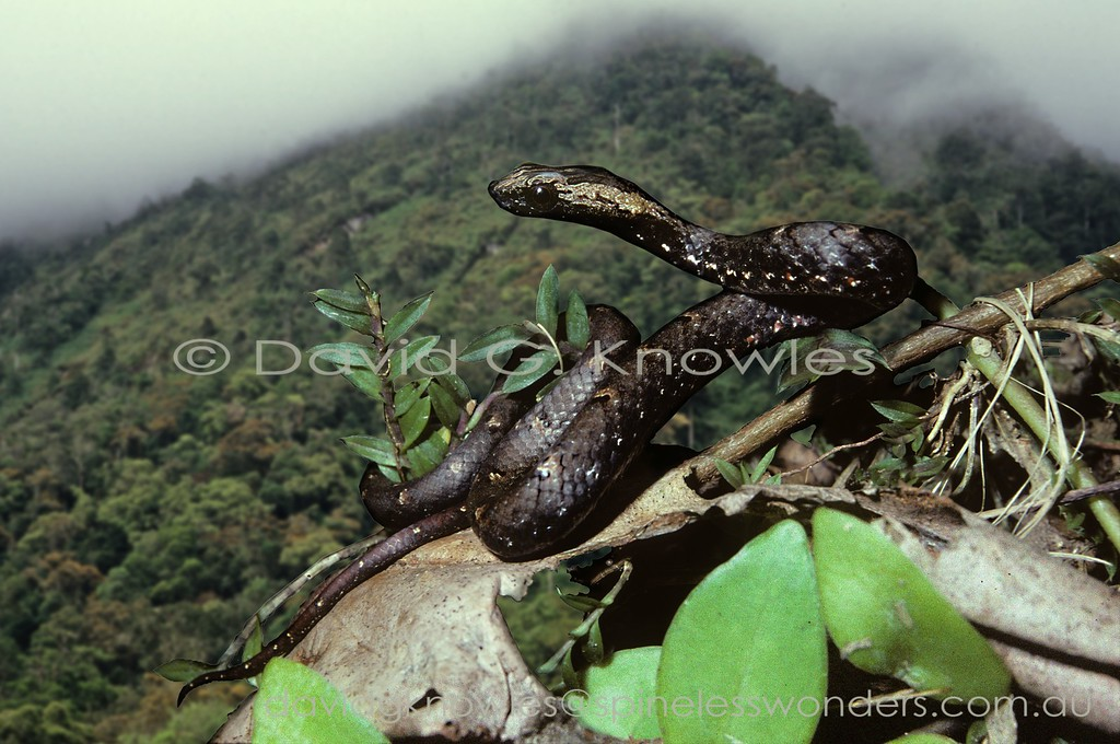 Common Mock Viper subadult loses basking sun as some mountain cloud drifts overhead