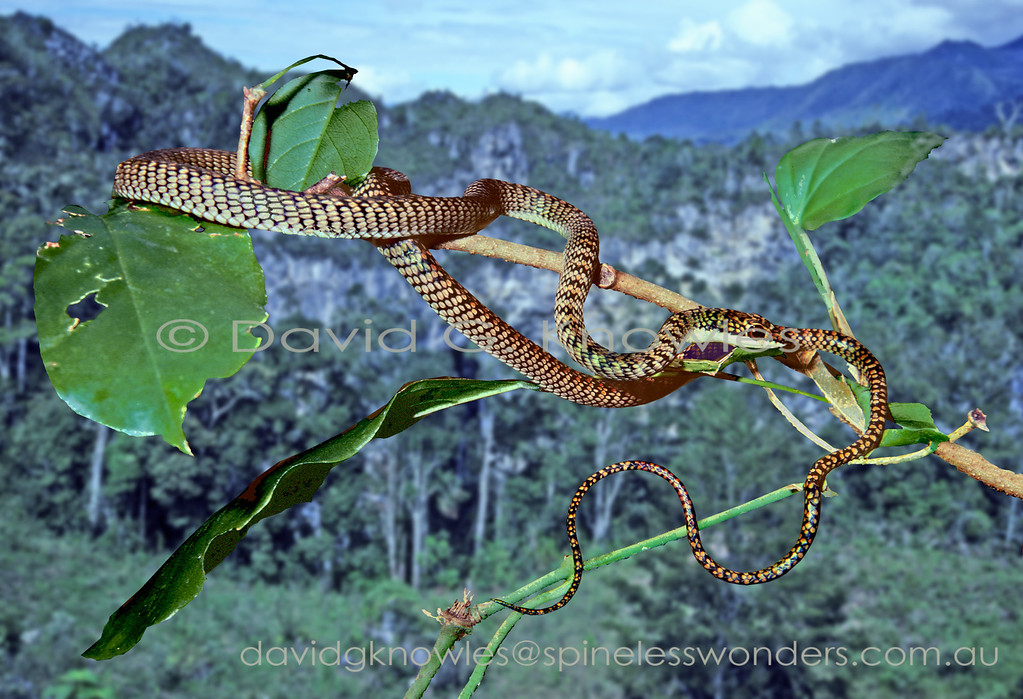 Sulawesi Paradise Tree Snake are highly agile in trees and on the ground gliding ability not withstanding