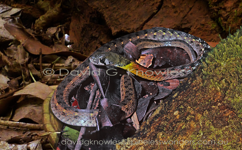 Rednecked Keelback waits for a passing frog or toad to ambush