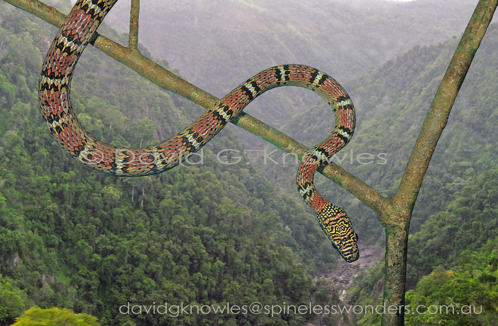Twin-barred Tree Snakes are capable of gliding. The red colour is usually seen in adults