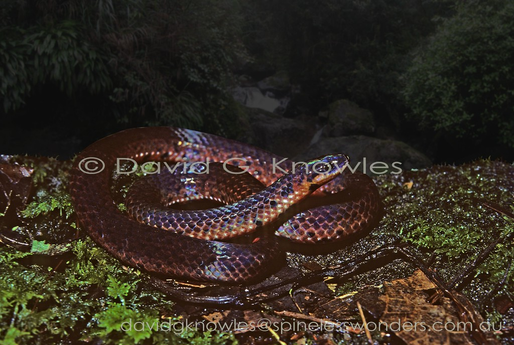 Linne's Dwarf Snakes are diminutive  earthworm hunters in rainforest leaflitter