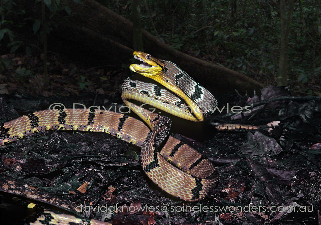 A large inflated and gaping Dog-toothed Cat Snake at over 2 metres long makes for an impressive bluff display