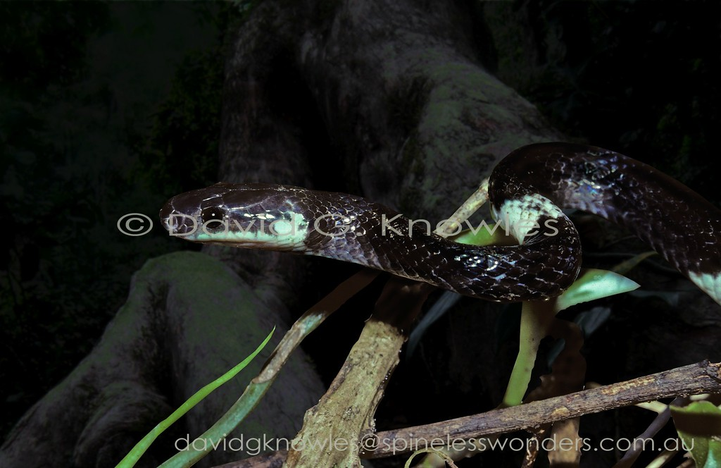 Malayan Banded Wolf Snake forages after dark for sleeping skinks and active geckos