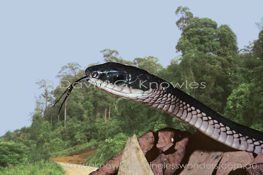 The speedy Sulawesi Black Racer is aptly named for its ability to chase down  its vertebrate prey