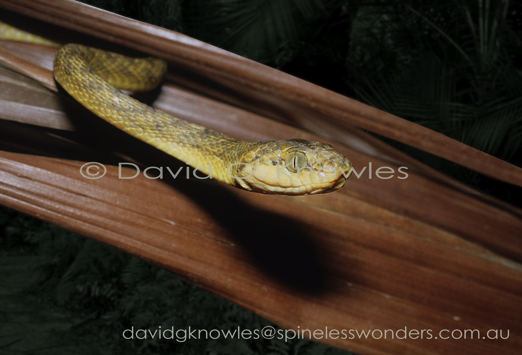 Brown Tree Snake hunts for sleeping birds