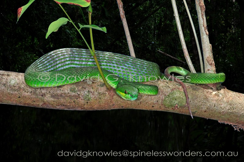 Lesser Sunda Island Pitviper seeks safe site for digestion after consuming a rodent or small bird
