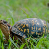 Eastern Turtle