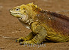 Ready to leave for the Crusades<br /> <br /> Land iguana<br /> Galapagos, 2008