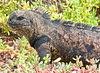 In Succulent Surroundings!!!<br /> <br /> Marine iguana<br /> Galapagos, 2008
