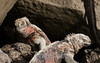 """Earth Movers""<br /> <br /> Marine iguanas<br /> Galapagos, 2008"