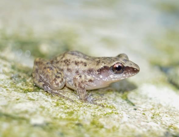 Baby Frog No. 5