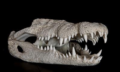 skull nile crocodile