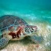 Green Sea Turtle - Akumal Mexico Akumal Mexico