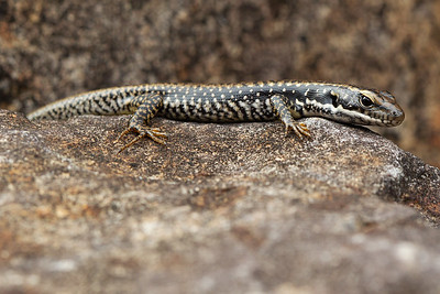 Blue Mountains Water Skink