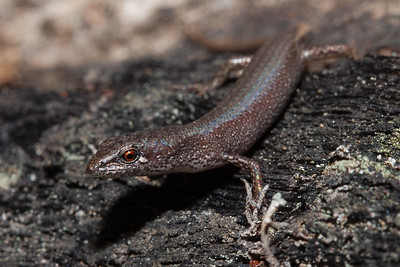 Southern Weasel Skink