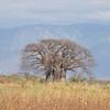 Afrikanischer Affenbrotbaum, Baobap, Adansonia digitata