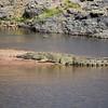 Nile Crocodile, Nil Krokodil, Crocodylus niloticus