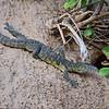 Monitor Lizard, Nilwaran, Varanus niloticus