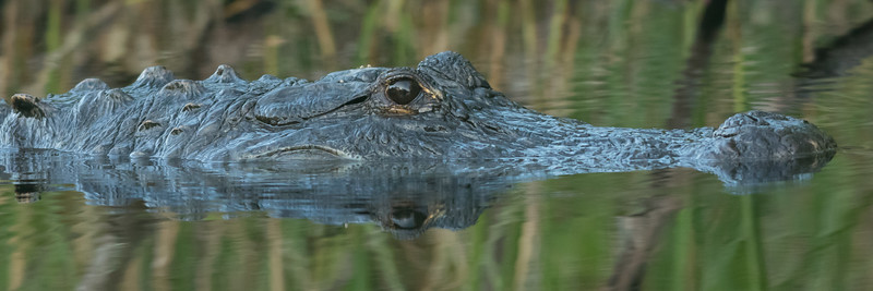 American Alligator, Everglades National Park, Florida