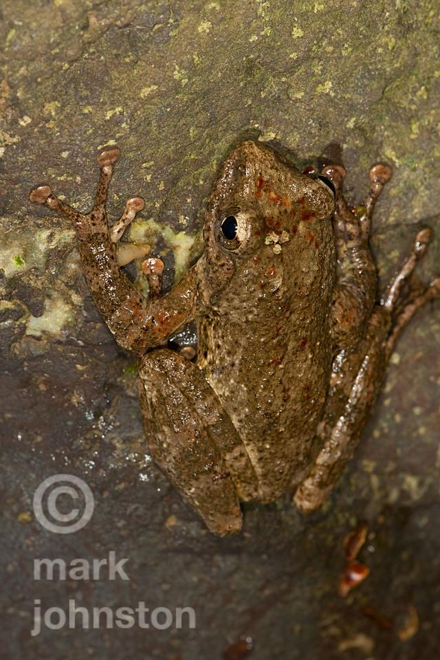 Tree frog on rock