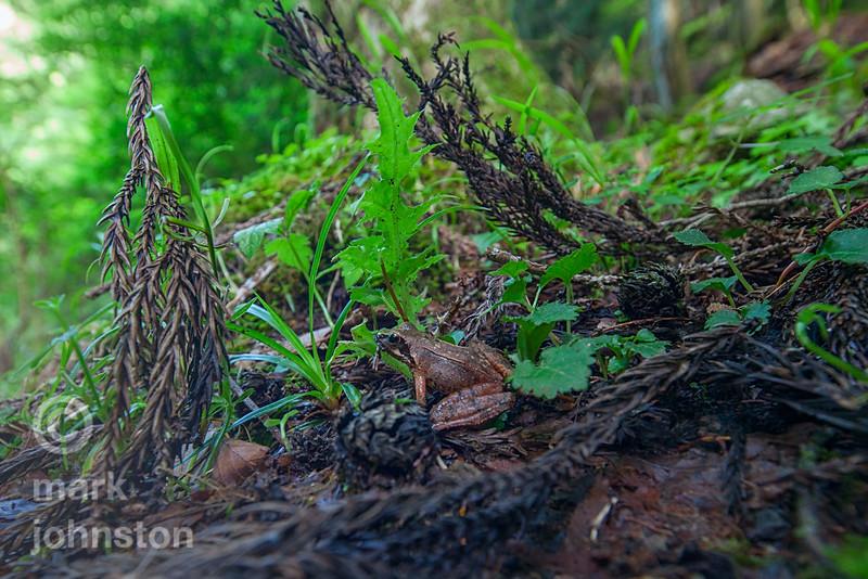 Woodland frog