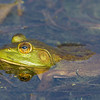 Bullfrog, Frink Centre Conservation Area, Ontario
