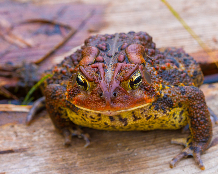 American Toad, Frink Centre Conservation Area, Ontario