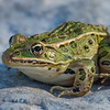 Leopard Frog, Prince Edward Point National Wildlife Area, Ontario