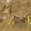 Leopard Frog, Point Petre, Ontario