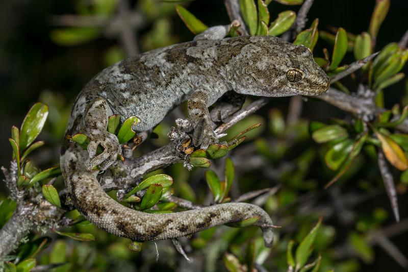 "Southern Alps Gecko, Woodworthia ""Southern Alps"". Canterbury."