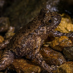 Hochstetter's Frog, Leiopelma hochstetteri. Northland.
