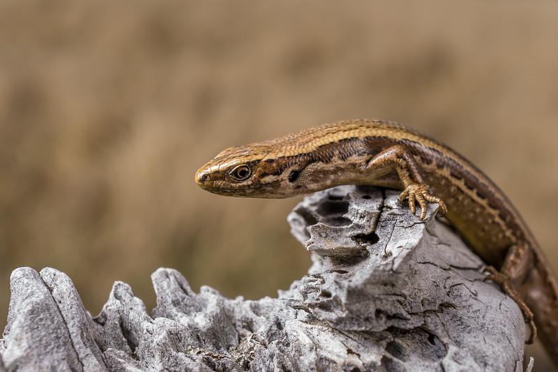 Grass Skink, Oligosoma aff. polychroma Clade 5. Canterbury.