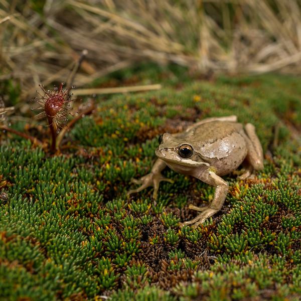 Whistling Tree Frog, Litoria ewingii. West Coast