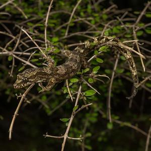 "Te Paki gecko, Dactylocnemis ""North Cape"". Northland."