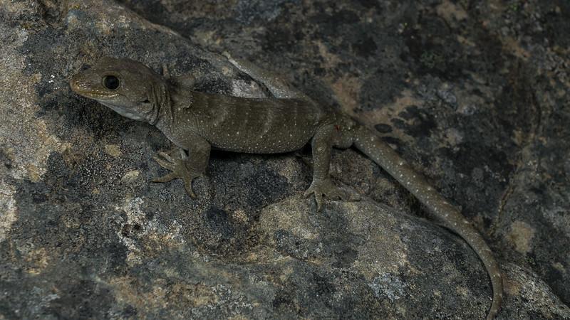 Black-eyed Gecko, Mokopirirakau kahutarae. Canterbury.