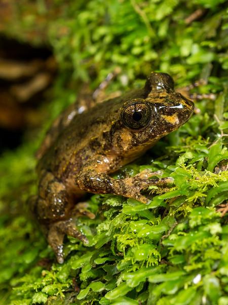 Hochstetter's Frog, Leiopelma hochstetteri. Coromandel.