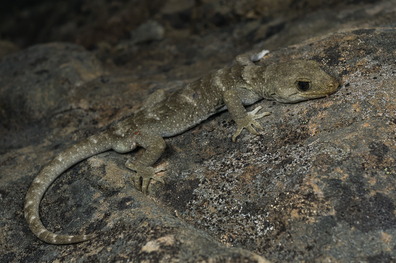 Black-eyed Gecko, Mokopirirakau kahutarae. Canterbury